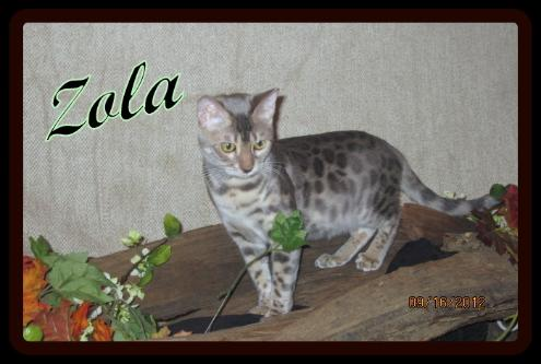 Asian Grace Indigo Spark, Blue Rosetted Bengal